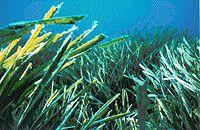 Posidonia oceanica.jpg