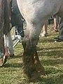 Postérieurs d'un cheval breton aubère.jpg