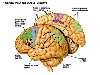 Neural pathway - Diagram showing cortical pathways