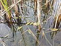 Potamogeton nodosus sl79.jpg