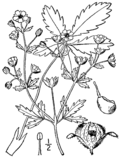 Potentilla intermedia drawing.png