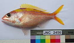 Pristipomoides argyrogrammicus JNC2456 with colour chart.JPG