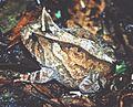 Proceratophrys boiei03.jpg