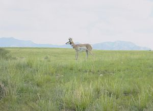 Cienega Valley (Arizona) - Image: Pronghorn Cienega Valley Arizona 2014