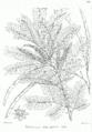 Prosopis cineraria Bra25.png