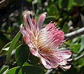 Protea punctata (Proteaceae) (4576147040).jpg