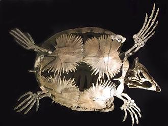Rocky Mountain Dinosaur Resource Center - Protostega skeletal reconstruction in the Center