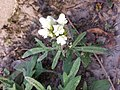 Prunella laciniata sl20.jpg