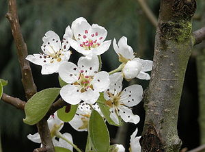 Flowers, leaves and trunk of a Pyrus communis tree