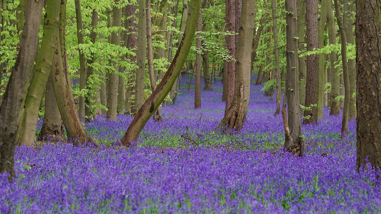 Tapis de jacinthes des bois dans la réserve naturelle anglaise de Pryor's Wood, près de Stevenage.  (définition réelle 6000×3375)