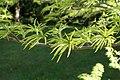 Pseudolarix amabilis kz08.jpg