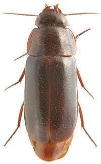 Pseudomorpha sp. - ZooKeys-245-001-g043.jpeg