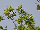 Pterocarpus santalinus (Red sanders) - Flickr - lalithamba.jpg