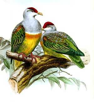 Wallace's fruit dove - Image: Ptilonopus Wallacii Wolf