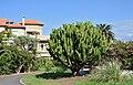 Pto de la Cruz - Calle Verode - Euphorbia candelabrum.jpg