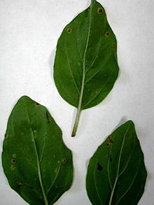 Puccinia menthae Pers. 2174038.jpg