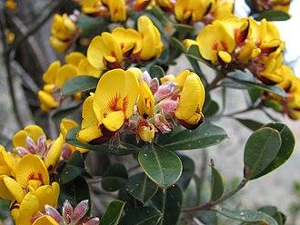 Pultenaea - Pultenaea daphnoides