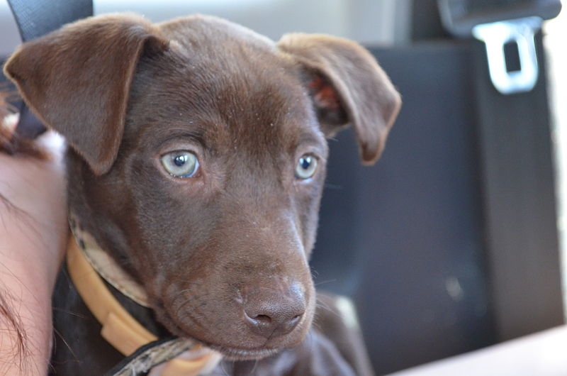 File:Puppy Eyes Kelpie.jpg