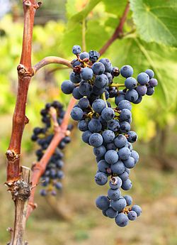Purcsin grape cluster.jpg
