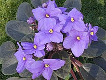 an African violet (plant)
