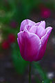 Purple Tulip (3389413320).jpg