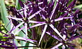 Purple spiky flower (7289093294).jpg