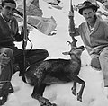 Pyrenean Chamois hunting.jpg