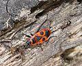Pyrrhocoris apterus (Fire Bug) - Flickr - gailhampshire.jpg