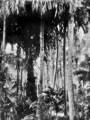 Queensland State Archives 897 Tropical jungle North Queensland c 1931.png