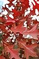 Quercus ellipsoidalis 12zz.jpg