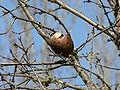 Quercus garryana 01039.JPG