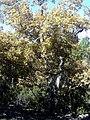 Quercus pyrenaica Pedriza Autumn SierraMadrona.jpg