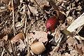 Quercus serrata (24890584014).jpg