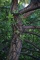 Quercus suber in Jardin botanique de la Charme 03.jpg