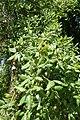Quercus suber kz5.jpg