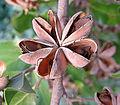 Quillaja saponaria, pod and seeds (9119112250).jpg