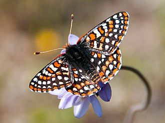 Quino checkerspot - Image: Quino Checkerspot Butterfly on a wild hyacinth (31651366006) cropped
