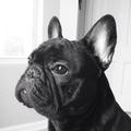 Quinstadog-FrenchBulldog2.png