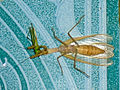 Räuberische Fangschrecke verspeist kl. Heuschrecke.jpg