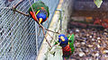 Rainbow lorikeet at Birdworld 03.jpg