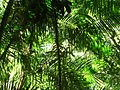 Rainforest ferns.jpg