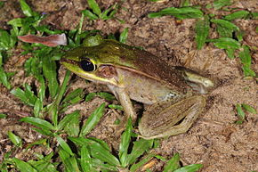 Description de l'image Rainforest frog (Lithobates vaillanti) (9430279338).jpg.