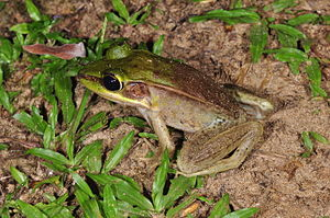 Lithobates - Vaillant's frog, an undisputed member of genus Lithobates