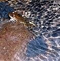 Rana maculata.jpg