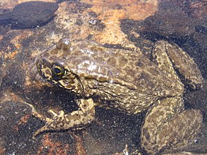 Mountain yellow-legged frog - Rana muscosa