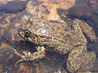 Mountain yellow-legged frog - Rana muscosa