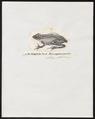 Rana sanguineo-maculata - 1836 - Print - Iconographia Zoologica - Special Collections University of Amsterdam - UBA01 IZ11500029.tif