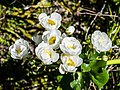 Ranunculus lyallii in Fiordland National Park 06.jpg