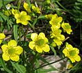 Ranunculus monophyllus IMG 3152.jpg