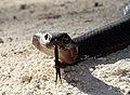 Red-bellied Black Snake (Pseudechis porphyriacus) (8397138581).jpg